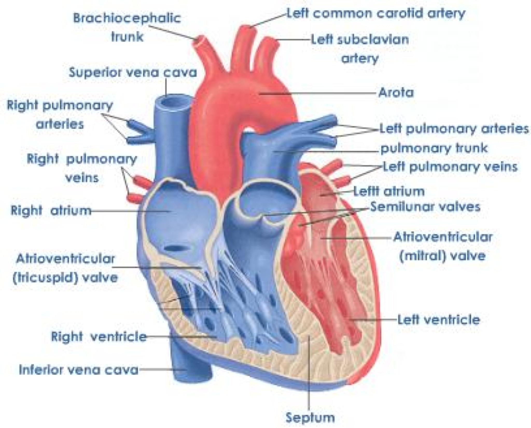 diagram of heart valves : heart valves diagram labeled - findchart.co